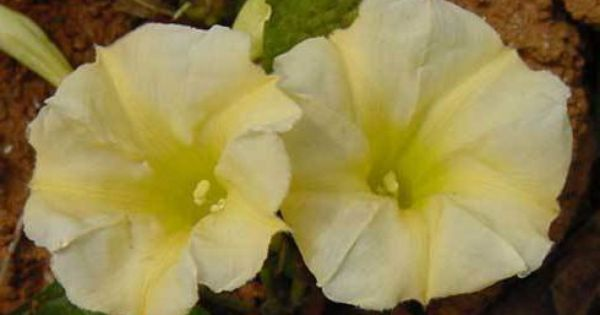 Morning Glory Ipomoea Evening Glory 10 Seeds Morning Glory Seed Packaging Vines