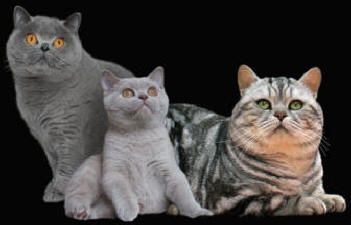 British Shorthair Breeders Australia British Shorthair Kittens