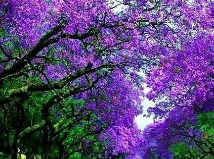 Jacracandas on Jacaranda Street, Sydney, Australia - what a backdrop for a