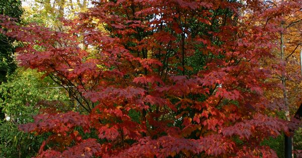 Pink Dogwood Fall Cornus Kousa Satomi Small Trees