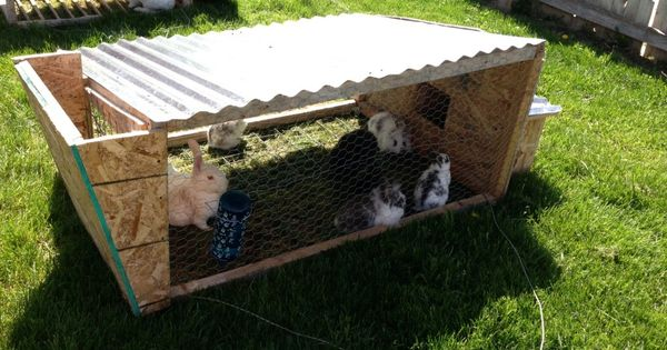 How To Feed Your Rabbits For Free From Scraps And A Rabbit Tractor Eating Grass Rabbits