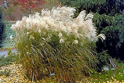 Ornamental Grasses For Minnesota Yard And Garden Garden University Of Minnesota Extension Ornamental Grasses Minnesota Garden Porch Landscaping