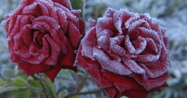A Rose Bush In Cold Weather Care Of Roses In Winter Growing Roses Winter Plants Rose Bush