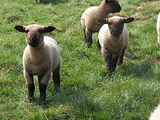 The Barton Poughill New Sheep Hampshire Sheep Sheep Breeds Cute Sheep