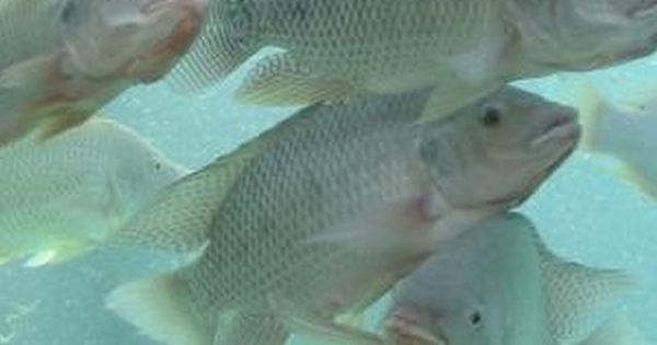 Fastest growing edible freshwater fish for ponds tilapia for Freshwater pond fish