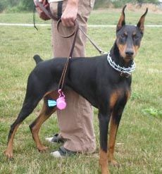 Doberman Without Ears Cropped Google Search Doberman Pinscher