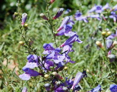Margarita Foothill Penstemon California Native Plants Garden Planner Plants