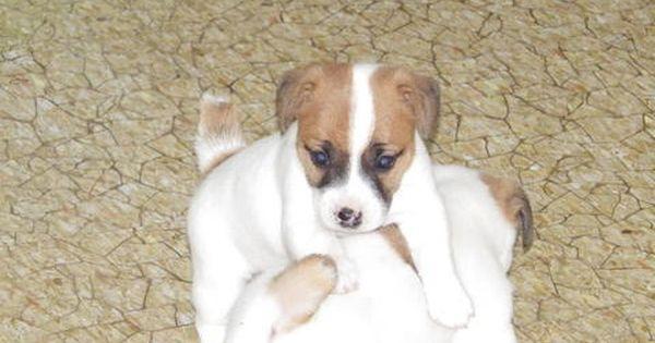 Litter Of 3 Jack Russell Terrier Puppies For Sale In Cincinnati