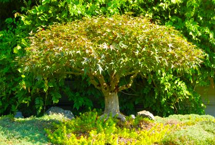 Best Dwarf Trees For Landscaping Photos Ideas Reviews Dwarf Trees For Landscaping Dwarf Trees Trees For Front Yard
