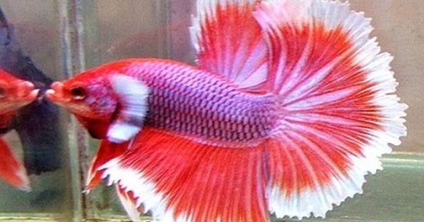 If you ve had more than one betta you know that bettas for Betta fish temp