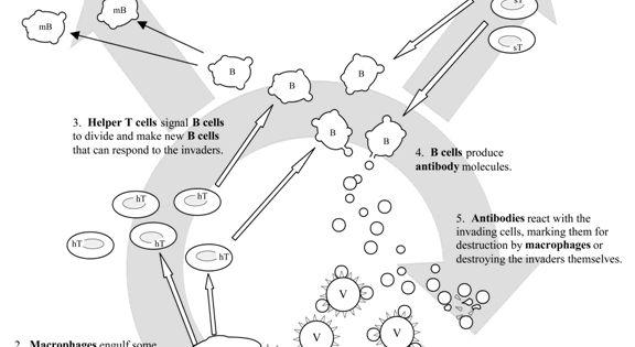 Immune System For Kids Worksheets Human Immune System