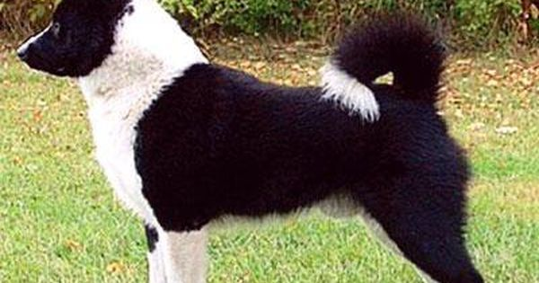 Karelian Bear Dog Dog Breed Information Bear Dog Breed Dogs