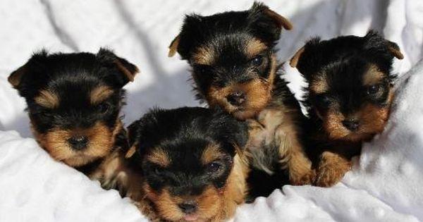 Yorkshire Terrier Dog For Adoption In Winder Ga Usa Adn 36977 On Puppyfinder Com Gender Female Age Teacup Yorkie Puppy Yorkie Puppy Yorkie Puppy For Sale