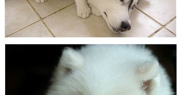 #puppy  #cute  #dog  #nice  #pet  #animal  #happy  #beautifu  #putdownyourphone | See more about Husky, Puppys and Dogs.