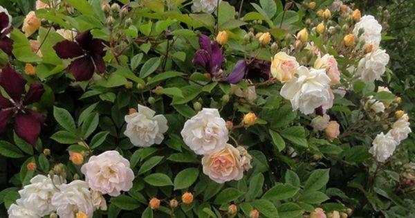 ghislaine de f ligonde est un rosier arbustif qui se pla t partout florif re et remontant. Black Bedroom Furniture Sets. Home Design Ideas