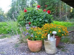 You Don T Need A Garden To Grow Dahlias Victoria Dahlia Society Growing Dahlias Dahlia Container Gardening