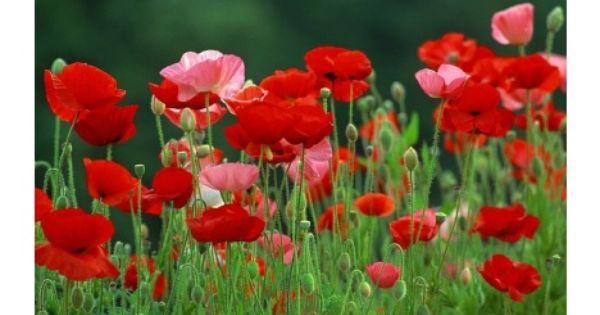 Rote Mohnblumen Power Blumensamen Gartensamen Und Blumen Anbauen