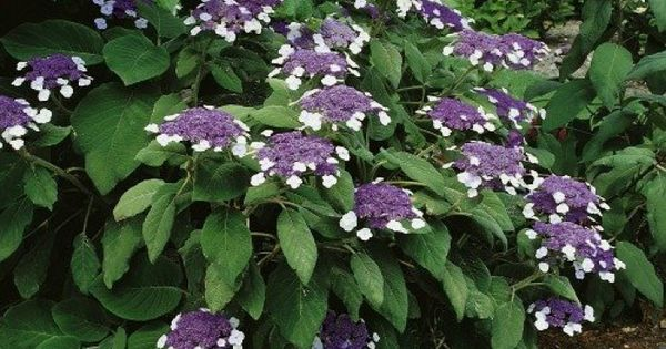 hydrangea aspera 39 macrophylla 39 voortuin pinterest hydrangea aspera hydrangea and plants. Black Bedroom Furniture Sets. Home Design Ideas
