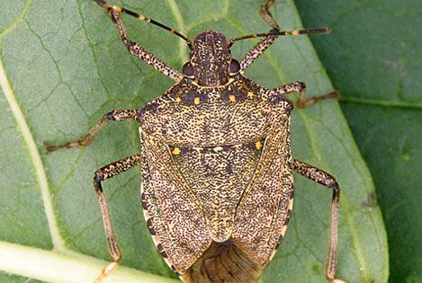 Monitoring For The Brown Marmorated Stink Bug Brown Marmorated Stink Bug