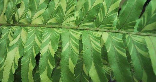 Plantfiles Pictures Boston Fern Tiger Fern Nephrolepis Exaltata By Kell Plants Ferns Garden Ferns