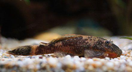 9 Best Algae Eaters For Freshwater Aquariums Clubfauna Freshwater Aquarium Aquarium Fish Tank Aquarium Fish