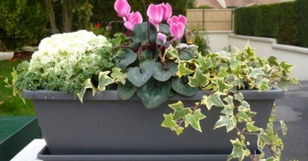 Jardini re d 39 automne hiver cyclamen lierre choux myrthe for Jardiniere exterieur hiver