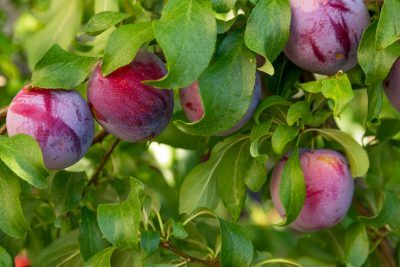 Plum Tree Fertilizer How And When To Feed Plum Trees Plum Tree Care Plum Tree Fruit Tree Garden