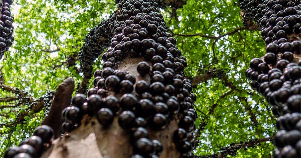 Brazilian Grape Tree (also known as Jabuticaba) does not use branches to