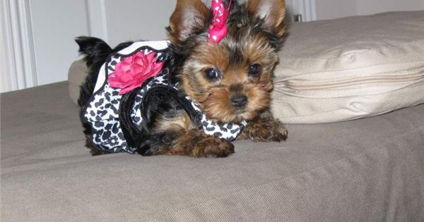 pictures of shorkies with long tails Teacup Yorkie