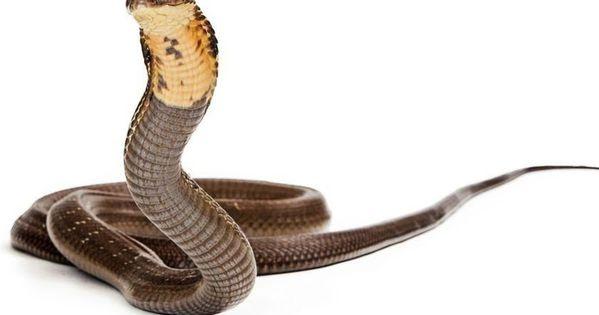 Cara Gambar Ular Cobra Ini Cara Mengusir Ular Dari Rumah Agar Keluarga Terhindar Dari Bahaya Terungkap Makanan Favorit Menggambar Ular Cara Menggambar Gambar