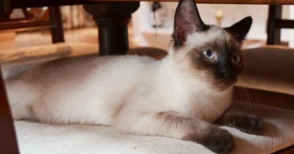 Adopt Cady On Petfinder Cat Info Cats Siamese Cats