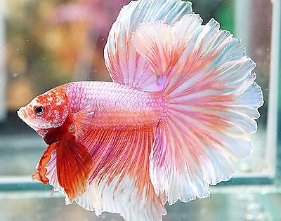 Live betta fish male fancy beautiful sweet pink rosetail for What fish are compatible with betta fish