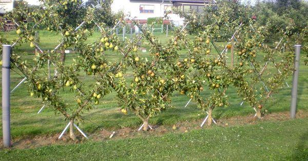 Comment connaitre la date de r colte des poires sur une haie fruiti re avec plusieurs vari t s - Quand traiter les arbres fruitiers ...
