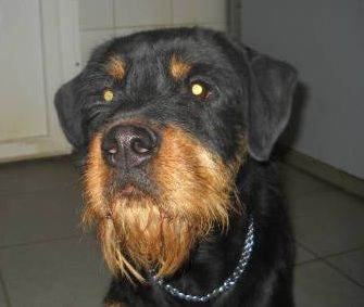 12 Unreal Rottweiler Cross Breeds You Have To See To Believe With