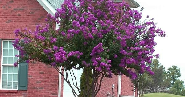 Catawba Crape Myrtle Grows In Zone 6a 183 10 176 To 5 176 F