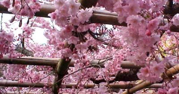 Cherry Blossoms Cherry Blossom Japan Japanese Cherry Blossom Cherry Blossom