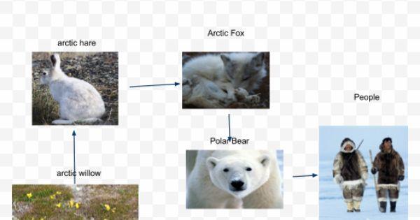 Arctic Fox Food Chain | ... .com/arctic/arctic-fox-food ...