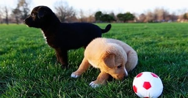 Happy World Cup Here S A Video Of Nothing But Puppies Playing Soccer Enjoy Women S Soccer Team Soccer Team