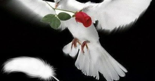 white dove with a red rose loves in the air pinterest