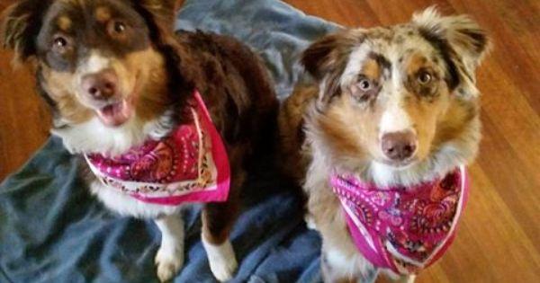 110 Facebook Australian Shepherd Puppy Love Cute Animals