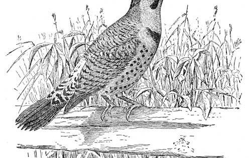 Northern Flicker Coloring Page