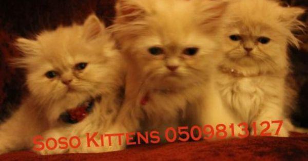 ثلاث قطط شيرازية هاف بيكي فيس عمر شهرين من اب بيكي فيس وأم هاف بيكي فيس اللون بيج عيون رمادي مواصفات مميزية شعر كثيف وطويل ذيل Cats Poster Movie Posters