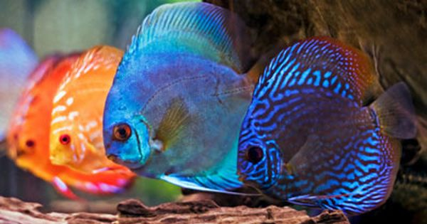 Discus are one of the most beautiful fish in the for Beautiful tropical fish