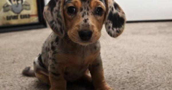 dapple dachshund puppy shilpisraut >> not an animal person, but I do