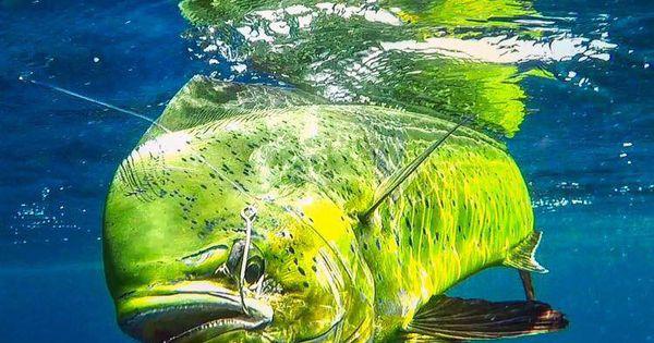 Underwater Mahi Fish Google Search Mahi Fish Fish Pet Nature