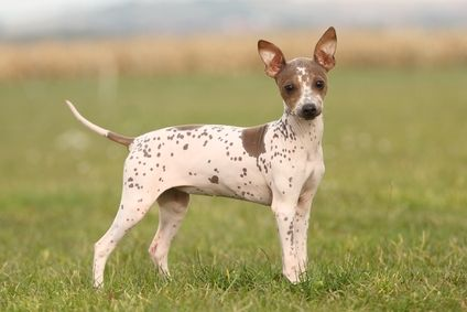 American Hairless Terrier Small Dog Breed Information Terrier