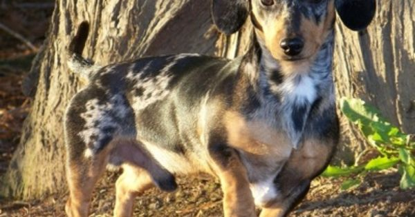 A Tweenie Silver Dapple Dachshund Tweenie Is A Term Used To