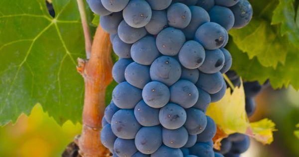 La Rioja Cómo Disfrutar La Vendimia Desde Dentro Pero Sin Pisar Uvas Uvas Frutas Exóticas Uvas Tintas