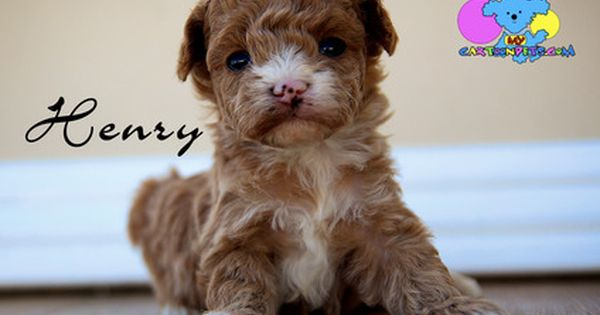 Poodle Toy Puppy For Sale In Corning Ca Adn 36730 On Puppyfinder Com Gender Male Age 3 Weeks Old Toy Puppies For Sale Puppies For Sale Puppies