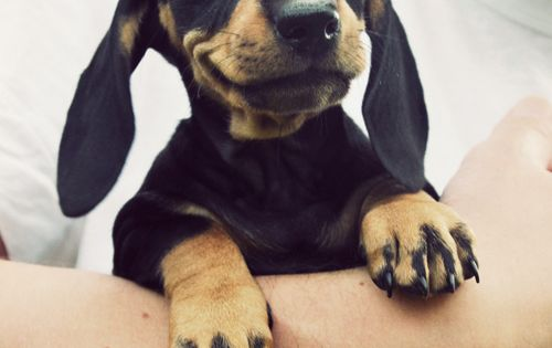 Little puppy doxie!